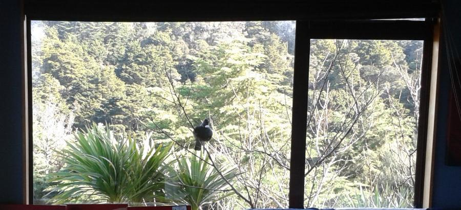 Local tui visiting to sing at its reflection in our lounge window